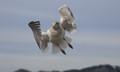 Herring Gull Taking Off