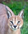 Caracal or Lynx