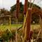 Typha latifolia__MG_4285_AJG