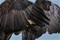 peek a boo eagle