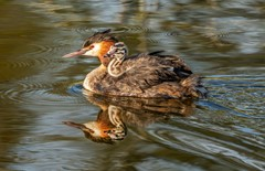 Great Crested Grebe & Chick