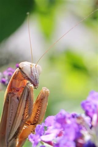 Mantis-glamour-shot