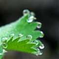 Drops on a hairy leaf