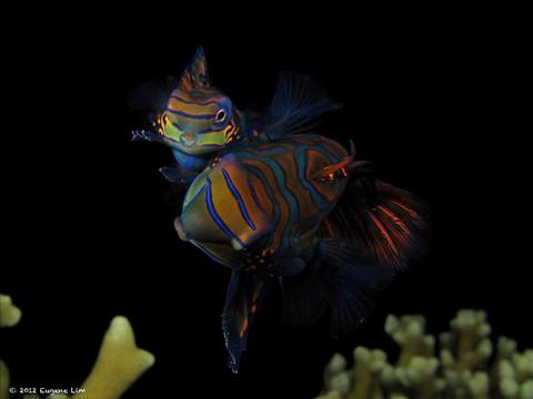 Mating Mandarin Fish - Malapascua, Philippines
