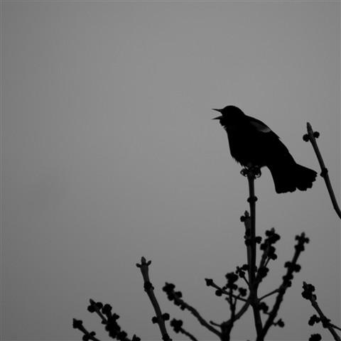Call of the blackbird b&w