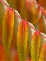 Detail: Staghorn Sumac Leaves, Autumn