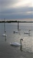 swans in the Caorle lagoon