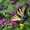 Eastern Tiger Swallowtail - Female