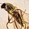 2017 Amber 027 March Diptera Nematocera Female 5x M-Plan