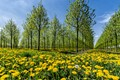 A field of dandelions