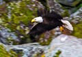 Adult eagle flying along a cliff wall at Caribou Lake Ontario Canada.
