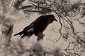 Raven for Halloween