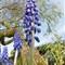 hyacinth1full