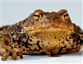 Frog-portrait