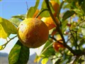 orange-looking lemon