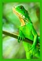 iguana_5630