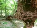 Old_Tree-1