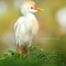 Cattle Egret | Florida 2016