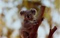 A Koala at the Sydney Zoo