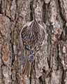 BROWN CREEPER ON WHITE OAK