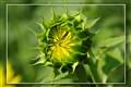 Blooming Sun Flower