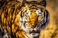 Bengal Tiger-8469