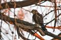 Perigrine Falcon-9477