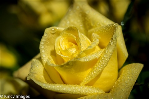 Anniversary Roses Nov 12-1-8