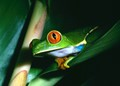 Very small Red Eye Tree frog in his habitat at the jungle of Tortuguero, Costa Rica.