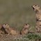 Ground Squirrel Family 3