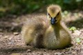Very young goose
