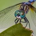 Blue Dasher Eyes