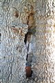 The Saw Tree