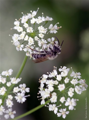 Mining or miner bee (Andrenidae) on ground elder flowers (Aegopodium podagraria - Apiaceae) in the mist