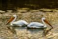 White Pelicans-3