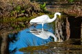 Great white egret sees himself in reflection in the water