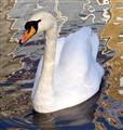 Swan_IMG_0138
