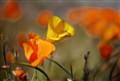 Lancaster Poppies