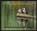 Pair of Pacific Black ducks