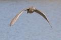 Juvenile Night Hawk in Flight