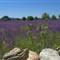 purple_deluge