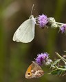 Small White & Gatekeeper