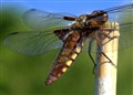 Wide Bodied Chaser