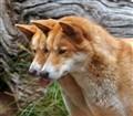 Dingo Double Vision