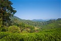 Nirmala tea plantation