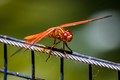 Red Dragon Fly-3800