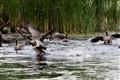 IMG_5808 Restless Geese
