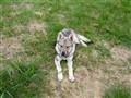 4 months old wolfdog