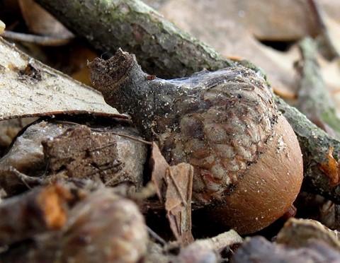 acorn2_1