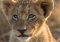 Sparta Lion Cub